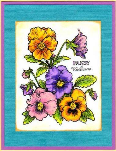 pansies botanical