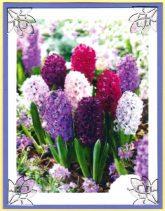 spring hyacinths