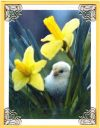 daffodil chick